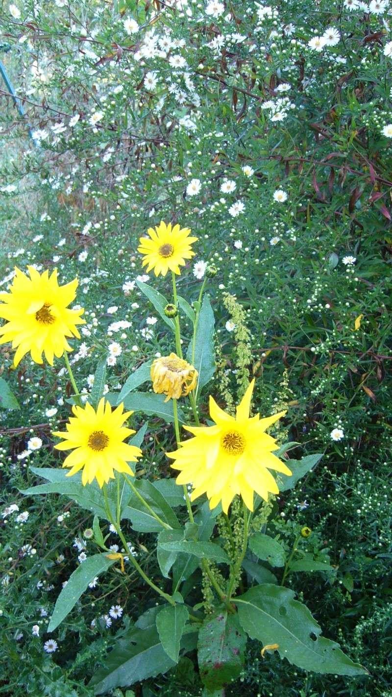Qu'avez vous comme fleurs melfière en ce moment P1050911