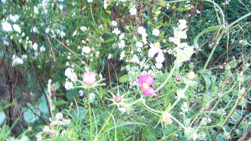 Qu'avez vous comme fleurs melfière en ce moment P1050912