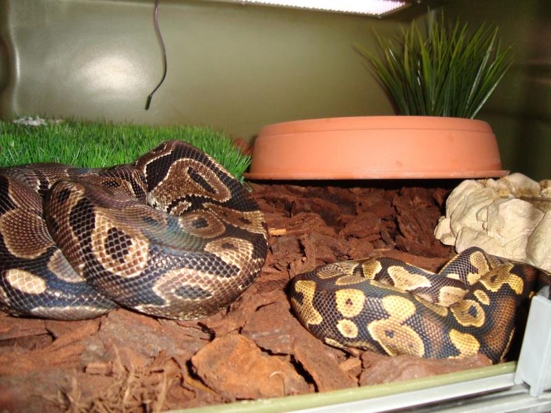 voila mon python yellow belly Dsc01211