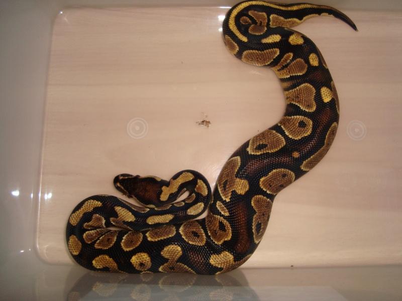 voila mon python yellow belly Dsc01212