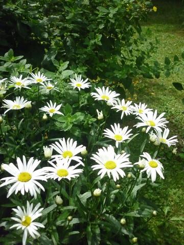 Leucanthemum maxima !!!  Leucan10