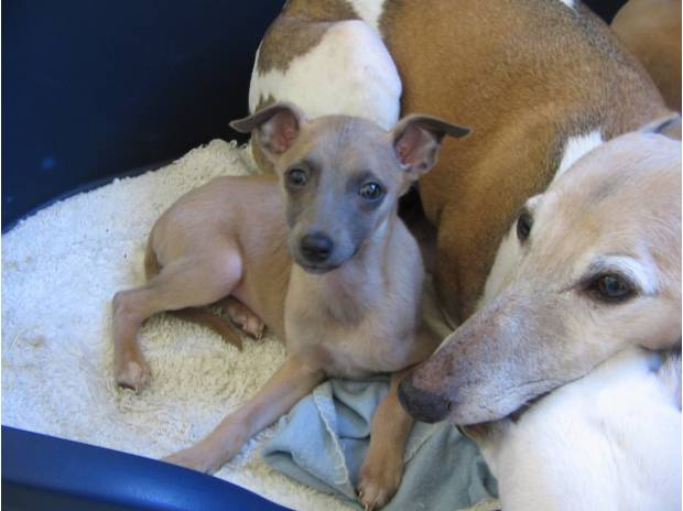 levrier whippet a placer 210