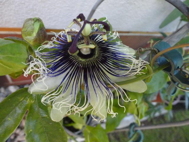 """Passiflora - Passionsblume - kleine """"Juwelen"""" - alles über Aussaat, Pflege, Vermehrung und natürlich Blütenbilder :) - Seite 6 00116"""