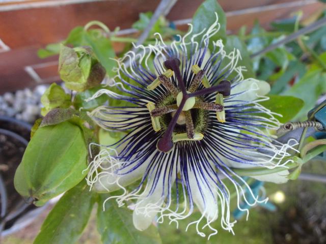 """Passiflora - Passionsblume - kleine """"Juwelen"""" - alles über Aussaat, Pflege, Vermehrung und natürlich Blütenbilder :) - Seite 6 00217"""