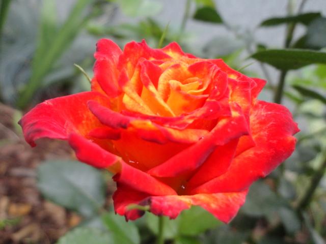"""Rosen - ein Thread für die """"Königin"""" - Seite 4 002_311"""