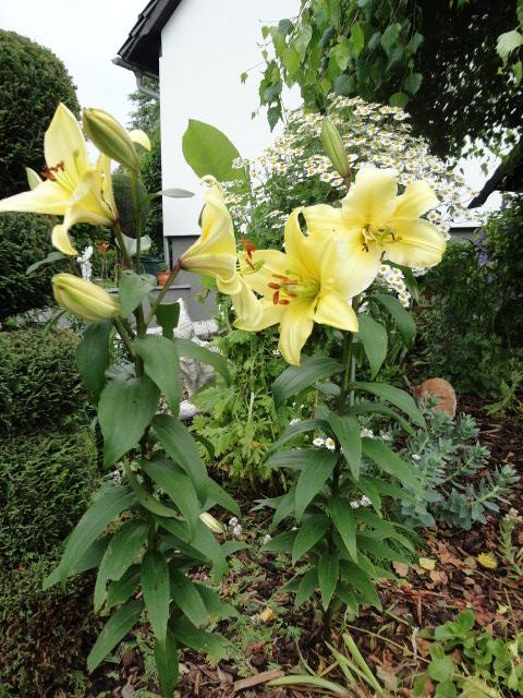 Lilien(artige) -  natürlich Lilien, aber auch Inkalilien, Zeitlose, Germer und Stechwinden - Seite 3 00310