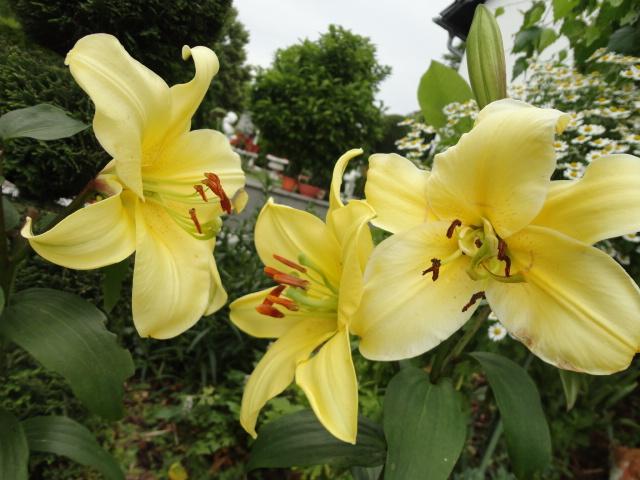 Lilien(artige) -  natürlich Lilien, aber auch Inkalilien, Zeitlose, Germer und Stechwinden - Seite 3 00410