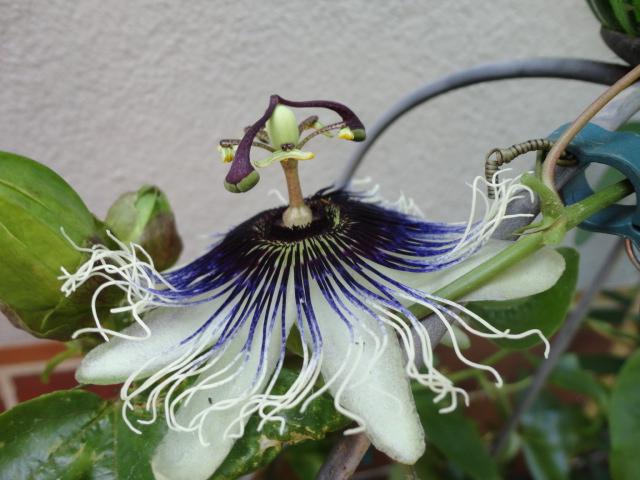 """Passiflora - Passionsblume - kleine """"Juwelen"""" - alles über Aussaat, Pflege, Vermehrung und natürlich Blütenbilder :) - Seite 6 00415"""