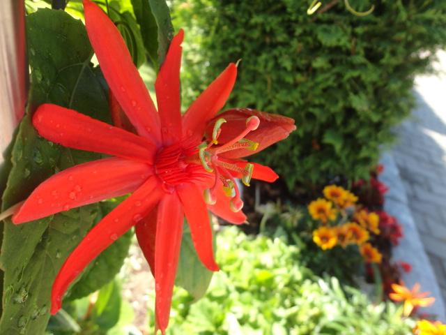"""Passiflora - Passionsblume - kleine """"Juwelen"""" - alles über Aussaat, Pflege, Vermehrung und natürlich Blütenbilder :) - Seite 3 004_310"""