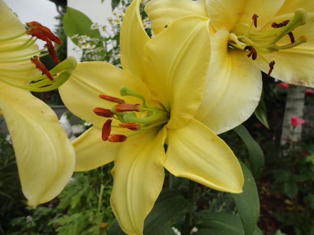 Lilien(artige) -  natürlich Lilien, aber auch Inkalilien, Zeitlose, Germer und Stechwinden - Seite 3 00510
