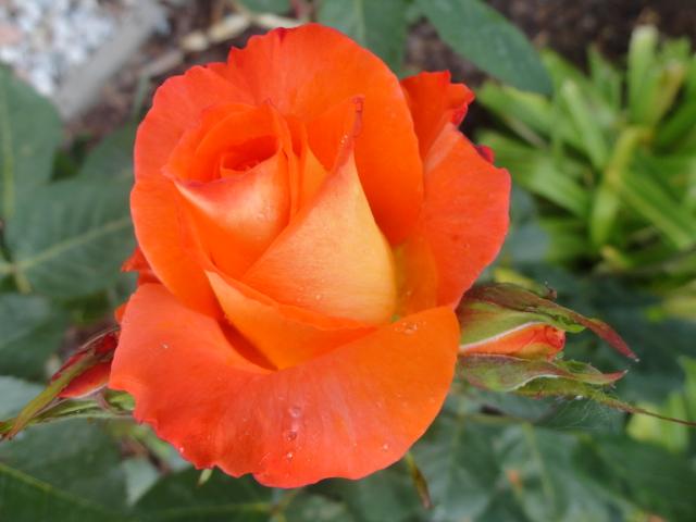 """Rosen - ein Thread für die """"Königin"""" - Seite 4 00514"""