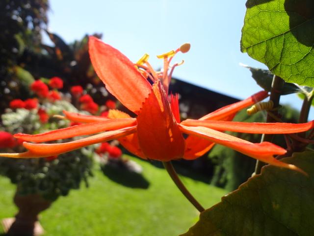 """Passiflora - Passionsblume - kleine """"Juwelen"""" - alles über Aussaat, Pflege, Vermehrung und natürlich Blütenbilder :) - Seite 3 006_310"""