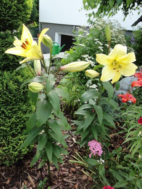 Lilien(artige) -  natürlich Lilien, aber auch Inkalilien, Zeitlose, Germer und Stechwinden - Seite 3 00812