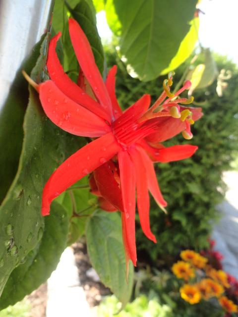 """Passiflora - Passionsblume - kleine """"Juwelen"""" - alles über Aussaat, Pflege, Vermehrung und natürlich Blütenbilder :) - Seite 3 008_610"""