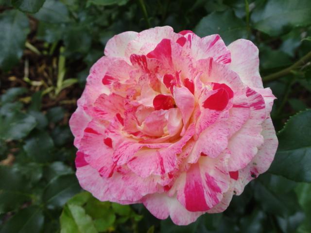 """Rosen - ein Thread für die """"Königin"""" - Seite 3 01010"""