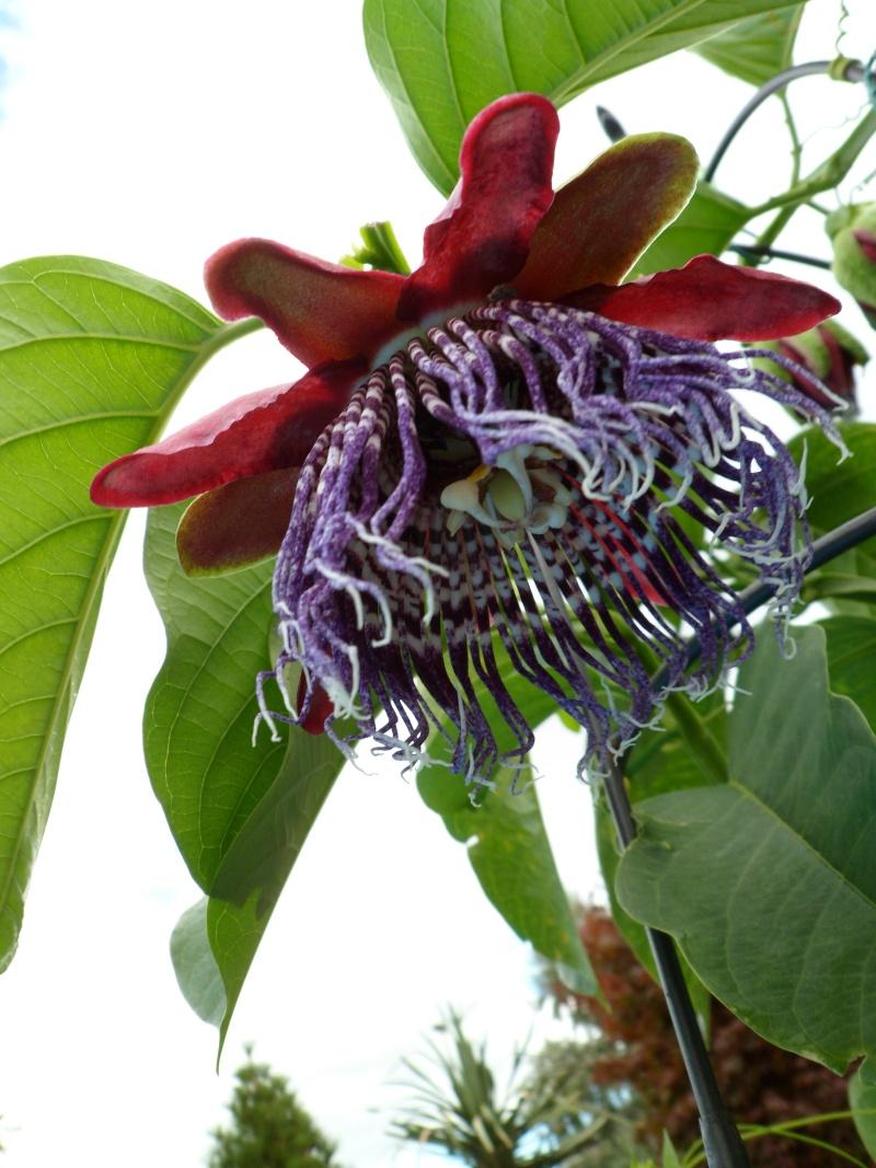 """Passiflora - Passionsblume - kleine """"Juwelen"""" - alles über Aussaat, Pflege, Vermehrung und natürlich Blütenbilder :) - Seite 5 01312"""