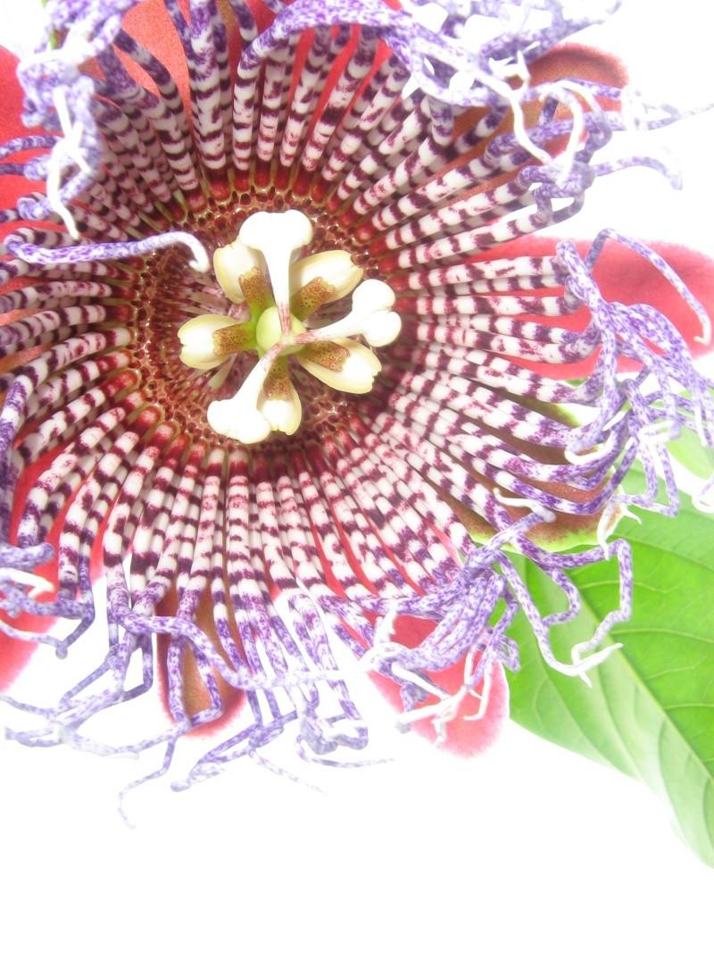 """Passiflora - Passionsblume - kleine """"Juwelen"""" - alles über Aussaat, Pflege, Vermehrung und natürlich Blütenbilder :) - Seite 3 01510"""
