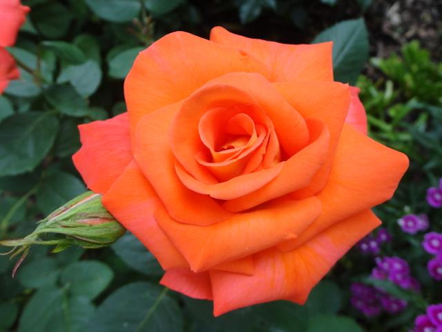 """Rosen - ein Thread für die """"Königin"""" - Seite 4 01512"""