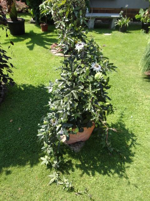 """Passiflora - Passionsblume - kleine """"Juwelen"""" - alles über Aussaat, Pflege, Vermehrung und natürlich Blütenbilder :) - Seite 4 01711"""