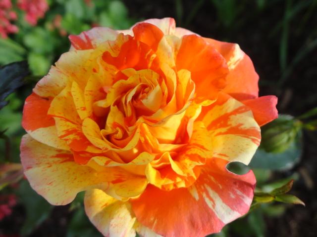 """Rosen - ein Thread für die """"Königin"""" - Seite 3 01810"""