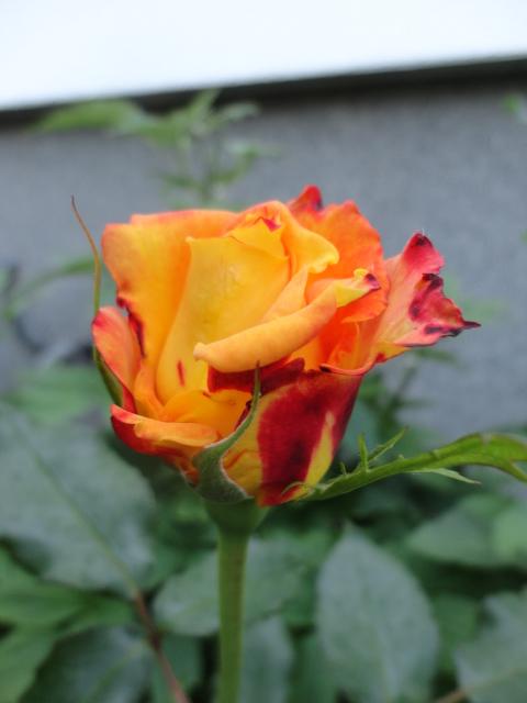"""Rosen - ein Thread für die """"Königin"""" - Seite 4 01812"""