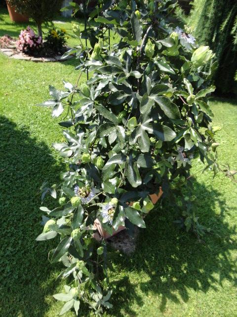 """Passiflora - Passionsblume - kleine """"Juwelen"""" - alles über Aussaat, Pflege, Vermehrung und natürlich Blütenbilder :) - Seite 4 01813"""