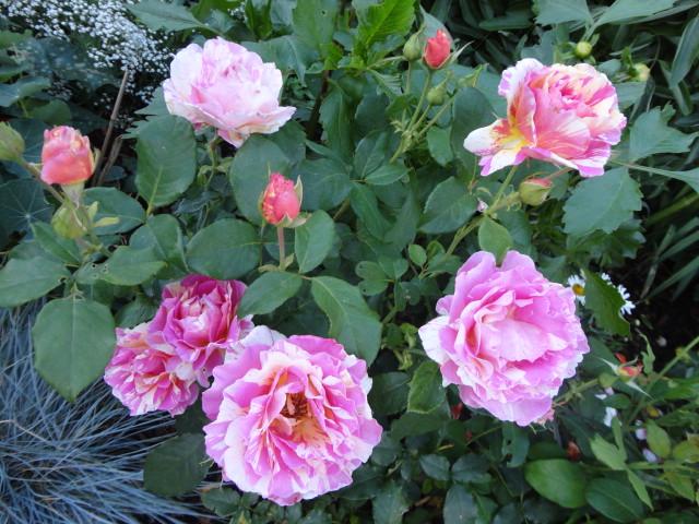"""Rosen - ein Thread für die """"Königin"""" - Seite 4 02312"""