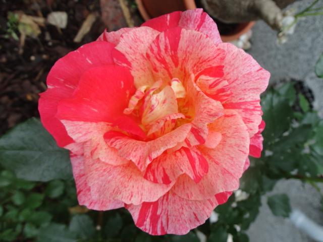 """Rosen - ein Thread für die """"Königin"""" - Seite 3 02410"""
