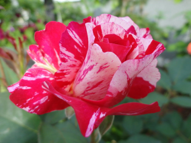 """Rosen - ein Thread für die """"Königin"""" - Seite 3 02411"""
