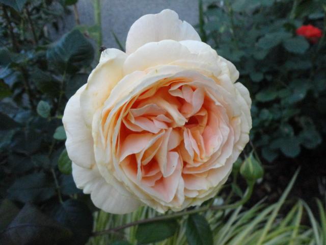 """Rosen - ein Thread für die """"Königin"""" - Seite 4 02511"""