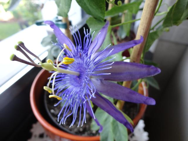 """Passiflora - Passionsblume - kleine """"Juwelen"""" - alles über Aussaat, Pflege, Vermehrung und natürlich Blütenbilder :) - Seite 6 02811"""