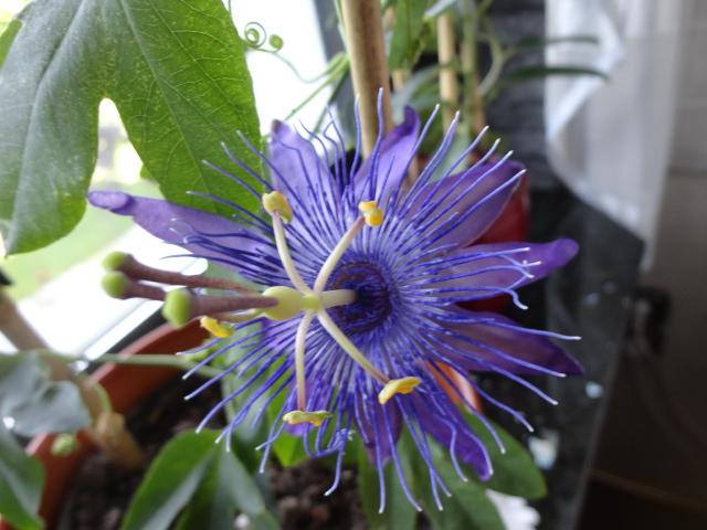 """Passiflora - Passionsblume - kleine """"Juwelen"""" - alles über Aussaat, Pflege, Vermehrung und natürlich Blütenbilder :) - Seite 6 03212"""
