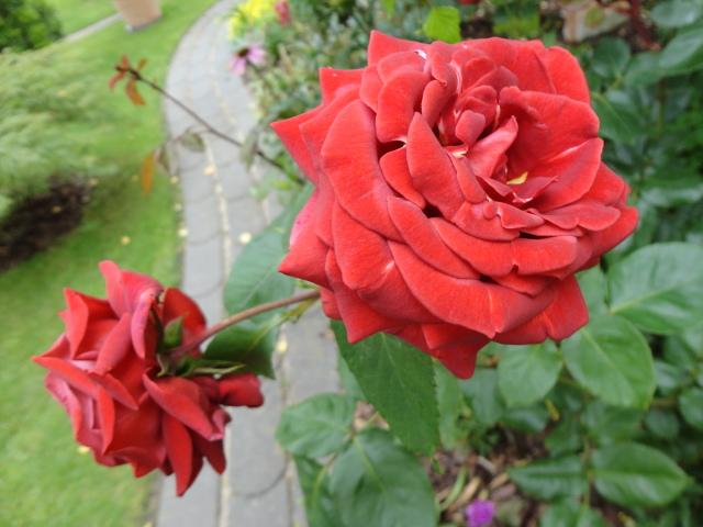 """Rosen - ein Thread für die """"Königin"""" - Seite 4 03311"""