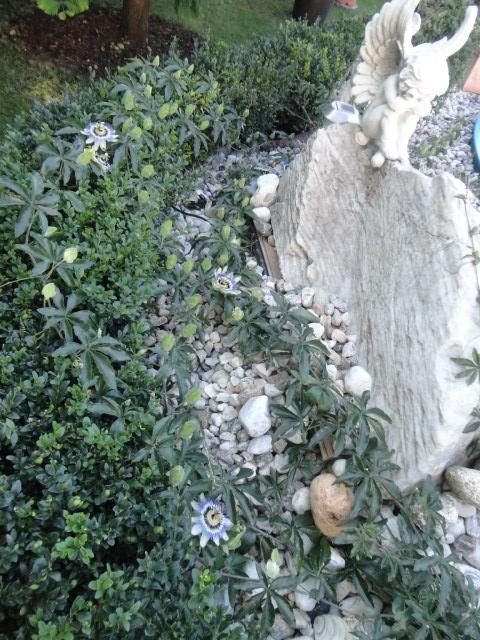 """Passiflora - Passionsblume - kleine """"Juwelen"""" - alles über Aussaat, Pflege, Vermehrung und natürlich Blütenbilder :) - Seite 3 03313"""