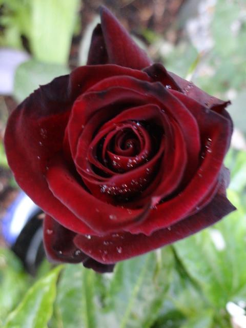 """Rosen - ein Thread für die """"Königin"""" - Seite 4 03410"""