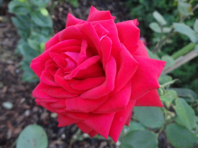 """Rosen - ein Thread für die """"Königin"""" - Seite 4 04510"""