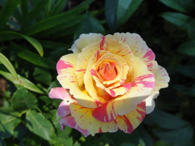 """Rosen - ein Thread für die """"Königin"""" - Seite 3 Camill10"""