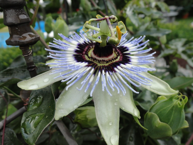 """Passiflora - Passionsblume - kleine """"Juwelen"""" - alles über Aussaat, Pflege, Vermehrung und natürlich Blütenbilder :) - Seite 4 P_clea10"""