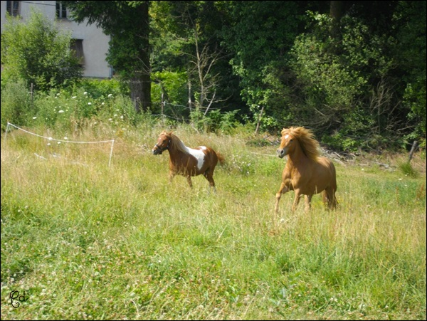 INDIANA - ONC poney typée shetland présumée née en 2000 - adoptée en juillet 2013 - Page 2 Imgp2311