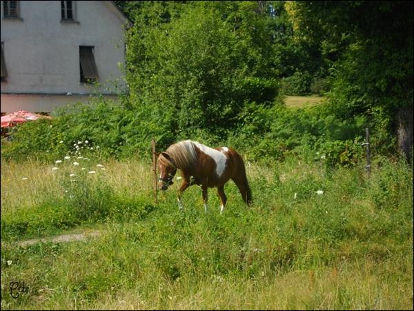 INDIANA - ONC poney typée shetland présumée née en 2000 - adoptée en juillet 2013 - Page 2 Imgp2312
