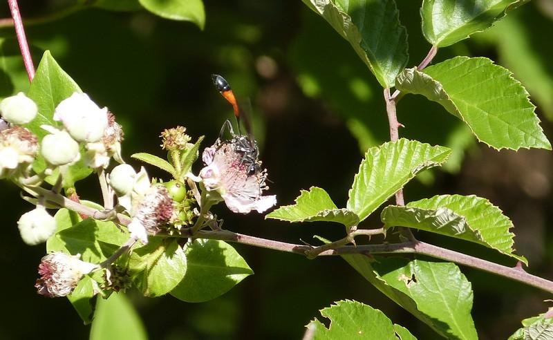 [Ammophila sabulosa ]Quelle est cette Hyménoptère ? Copie_12