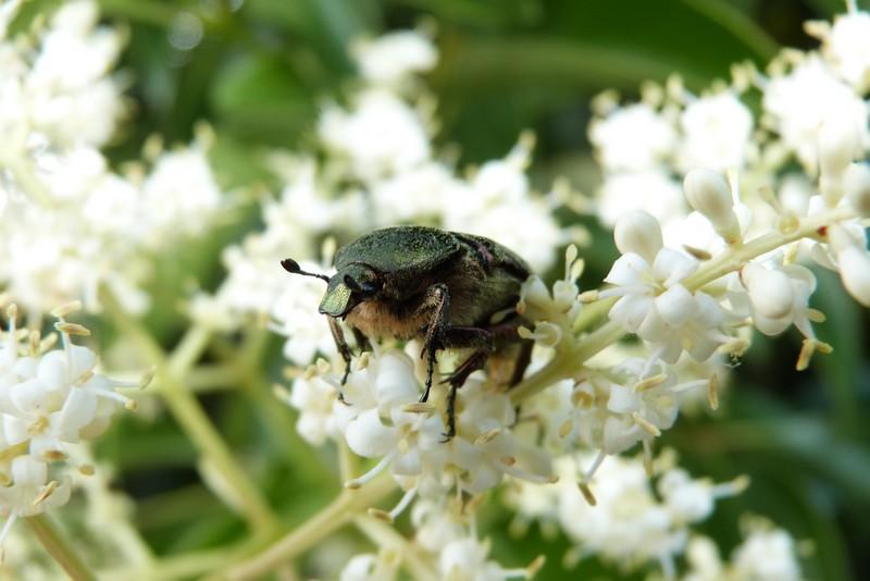 [Cetonia aurata] Cetonia aurata sur fleur  P1080011