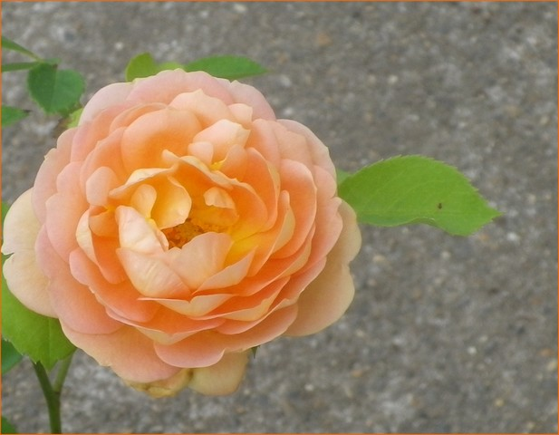 rosa 'lady of shalott' 13072010