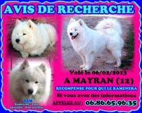 Avis de rercherche : Sam, samoyède de 2 ans, volé à Mayran dans l'Aveyron Talach10