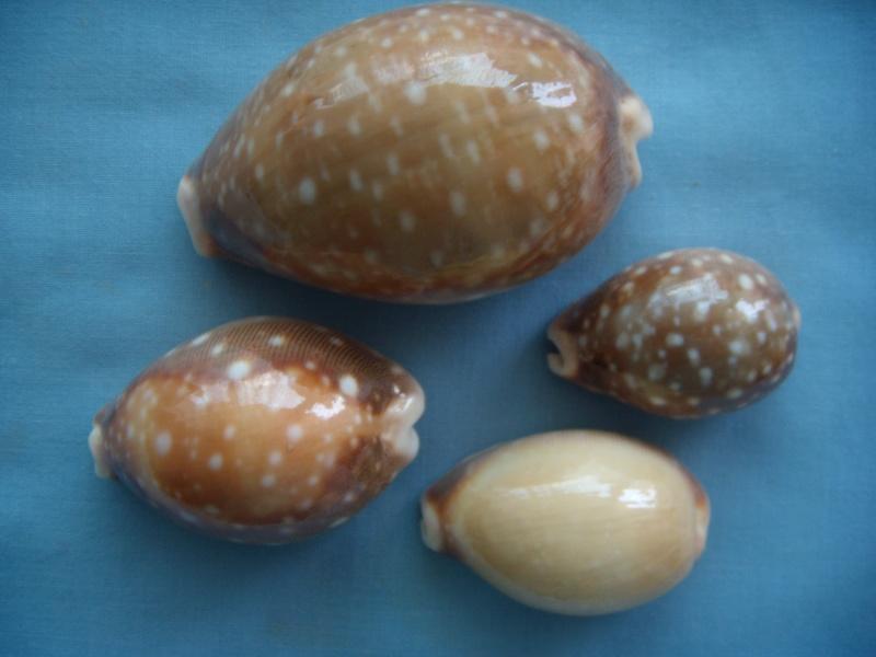 Lyncina vitellus - (Linnaeus, 1758)   Dscn0846