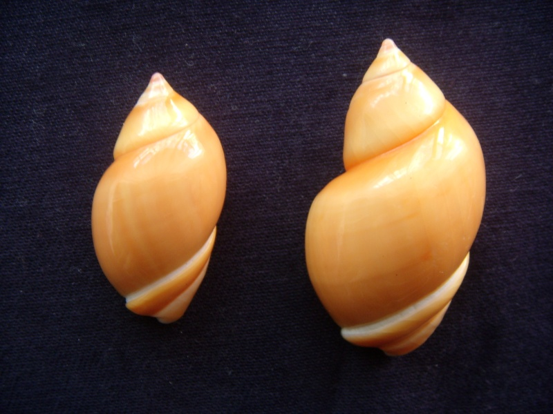 Eburna lienardii - (Bernardi, 1859) Dscn0850