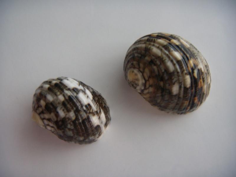 Nerita chamaeleon - Linnaeus, 1758 Dscn0911