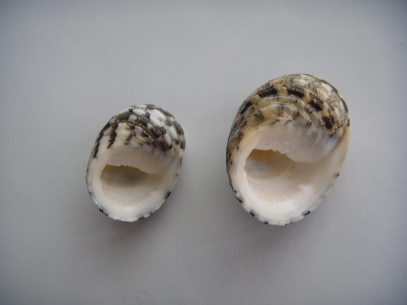 Nerita chamaeleon - Linnaeus, 1758 Dscn0912