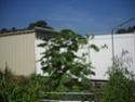 Vertically Growing Summer Squash Dscn1534