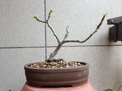 Nuovo arrivato, Ficus Carica 10439411